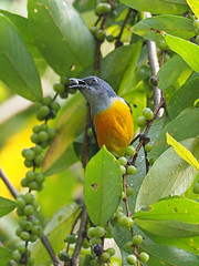 Orange-bellied Flowerpecker (ChongBT) Tags: natural animal bird wild life wildlife nature malaysia outdoor flower pecker flowerpecker orange bellied adult male dicaeum trigonostigma feeding