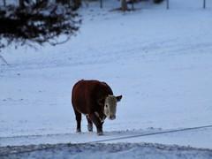 Curly (emiliana d) Tags: farm caws snow winter miniature donkeys