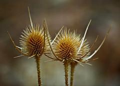 Belleza seca (portalealba) Tags: flores portalealba pentax pentaxk50 bokeh contactgroups