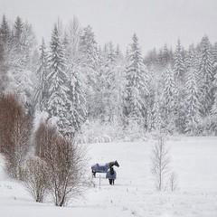 ~ snowy horses ~  Riddarhyttan, Sweden (Tankartartid) Tags: countryside landsbygd landskap landscape nordic norden västmanland riddarhyttan europe sverige sweden winterwonderland natur nature snow snö trees träd hästar horses vinter winter instagram ifttt