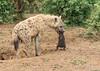Spotted Hyena with cub -  Crocuta crocuta (rosebudl1959) Tags: 2017 kenya masaimara zebraplains spotted hyena