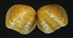 Epioblasma flexuosa (arcuate pearly mussel) (James St. John) Tags: epioblasma flexuosa arcuate pearly mussel bivalve bivalves mussels clam clams leafshell extinct species shell shells freshwater
