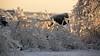 Icy Blanket DSN_1610 (iloleo) Tags: ice winter nature toronto nikond7000