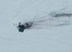 Seal, Peterhead (Beth M527) Tags: seals animals aberdeenshire 2016 harbours peterhead