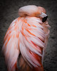 Flamingo at Rest (Beth Reynolds) Tags: flamingo bird pink chilean tropical stpetersburg florida