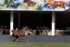 Majestic ! (Meshari Fahad) Tags: canon7d arabian horse beauty show showing festival sport