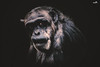Relative (VandenBerge Photography) Tags: chimp monkey animal portrait dark lights eyes nature nationalgeographic canon primate