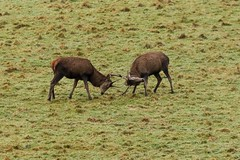 Red Deer Stags, Dartmoor. (Martin F Hughes) Tags: martin hughes canon 7d mkii mk2 cornwall devon dartmoor red deer stags rutting mamals reddeer