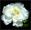 Natural Wonder (dimaruss34) Tags: newyork brooklyn dmitriyfomenko image flower peony