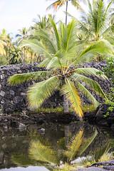 Palm Tree Reflection (wyojones) Tags: puuhonuaohōnaunaunationalhistoricalpark pu'uhonua placeofrefuge hawaii bigisland makaloapools brackishwater ponds pools anchialineponds tides makaloa sedge mats undergroundsprings