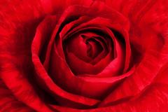 Sabe que la estamos mirando (Helena de Riquer) Tags: rosa flor flower fleur fiori rosaceae バラ nature natur rouge rojo vermell monochrome hmm macromondays helenaderiquer flickr carlzeiss monocromático monocromo mm
