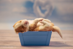 Sweet box for Valentine's day (Sandra Jureczka) Tags: puppies dogs dogphotograpy sweet valentine day canon 6d art85 puppy brordercollie dog