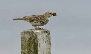MEADOW PIPIT SNACK By Angela Wilson