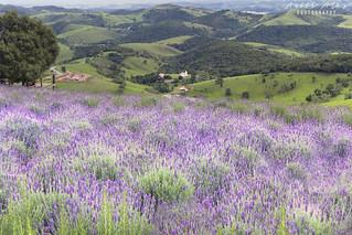 Lavender field - Cunha (São Paulo)