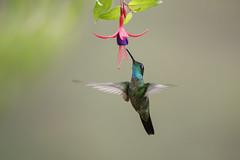 Talamanca Hummingbird (Eugenes spectabilis) (Hamilton Images) Tags: talamancahummingbird eugenesspectabilis bird feathers hummingbird savegrehotel batsugardens sangerardodedota costarica canon 5dmarkiv 500mm january 2018 juancarlosvindasphototours neotropicphototour img293a05291