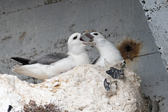 Fulmar Pair (DGooding89) Tags: fulmar bird coastal sea flight ramsgate harbour thanet kent wildlife