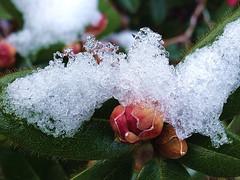 The Cold Shoulder! (FernShade) Tags: azaleablossomsunderice azalea azaleabuds flower flora shrub snow ice nature winter garden outdoor stanleypark vancouver