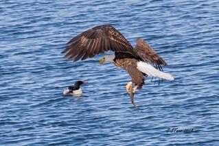 IMG_9168 american bald eagle