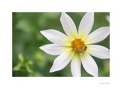 Bee On A Dahlia (Meu :-) (Offline)) Tags: bee pollen nectar dahlia flower