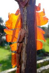 acer griseum (bejem) Tags: tree acer bark acergriseum garden