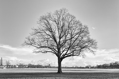 Pitchcroft tree (Dr Kippy) Tags: tree worcester worcestershire pitchcroft blackandwhite bw mono monochrome canon100d canonefs24mmf28