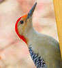 Red Bellied Woodpecker Profile (John Kocijanski) Tags: woodpecker bokeh bird red redbelliedwoodpecker animal canon70300mmllens canon7d wildlife nature