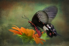 Common Rose Butterfly (ulli_p) Tags: asia art artofimages amazingcolours aworkofart awardtree butterflys canon750d exoticimage flickraward flowers isan insects light likeapainting macro nature ruralthailand southeastasia thailand texture textured texturedphoto commonrosebutterfly