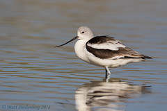 American Avocet (Matt Shellenberg) Tags: american avocet americanavocet arizona shorebird gilbert matt shellenberg