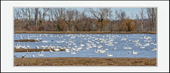 Tundra Swans (Summerside90) Tags: birds birdwatcher swans tundraswans march winter aylmerwildlifemanagementarea nature wildlife ontario canada