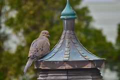 Sitting pretty! (ineedathis, Everyday I get up, it's a great day!) Tags: dove bird finial roof copper patina woodworking garden nature winter zoom closeup nikond750 birdfeeder mourningdove avian bokeh trees arborvitae
