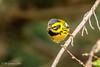 Townsend's Warbler (m) (Bob Gunderson) Tags: birds california northerncalifornia sanfrancisco setophagatownsendi sutroheights townsendswarbler warblers woodwarblers