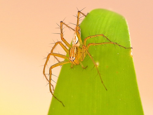 Lynx Spider (Oxyopes papuanus)