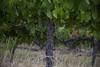 IMG_6525a (Ben Aird) Tags: cape town africa nature wine zebra giraffe springbok bontebok eland grapes duck bokaap seal vineyard vine shiraz remhoogte vergenoed lizard architechture