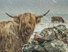 Highlander Hardy (Impact Imagz) Tags: cattle highlandcow scottishhighlands isleoflewis outerhebrides westernisles winter winterscene winterweather snow snowshowers visitscotland