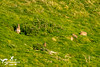Wild Rabbits (SLHPhotography1990) Tags: 2017 april nikon sandown sophs culver downs walk wild wildlife animal nature natural rabbit isleofwight