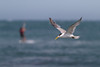 Crested Tern (Mikey Down Under) Tags: bulli crested flying illawarra kite nsw sandonpoint southcoast surfer surfing tern