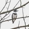 BELTED KINGFISHER (nsxbirder) Tags: beltedkingfisher leveeroad lawrenceburg indiana whitewaterriver franklincounty