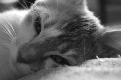 B&W Nicotine (Jofriii) Tags: black white cat cats chat chats animaux animals animal tendresse tenderness soft softness blackwhite noiretblanc