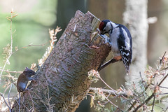 (Explore) Waiting for a meal (Ron Winkler nature) Tags: mouse great spotted woodpecker dendrocoposmajor dendrocopos major grote bonte specht bird birding birdwatching birdwatcher nature wildlife netherlands nederland europe canon 100400ii