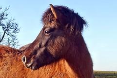 ich habe meiner Tochter ein paar Pferdefotos versprochen (mama knipst!) Tags: pferd horse cheval cavallo tier animal eifel