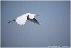 Little Egret (करछिया बगुला) - Egretta garzetta (jhureley1977) Tags: littleegret करछियाबगुला egrettagarzetta birds birding indiabirding2018 india indiabirds birdsofindia ashjhureley avibase naturesvoice bbcspringwatch rspbbirders sanctuaryasia orientbirdclub ashutoshjhureley jabalpur jabalpurbirds