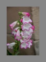 Pink Edges (Audrey A Jackson) Tags: canon60d garden nature colour pink petals 1001nights