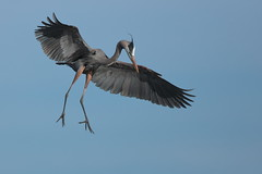 Great Blue Heron (Hammerchewer) Tags: greatblueheron bird wildlife outdoor