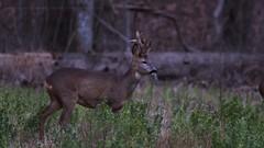 .. (jesscser) Tags: nikon d500 sigma 150600 deer chevreuil cervidé brocard oise affût natur natural