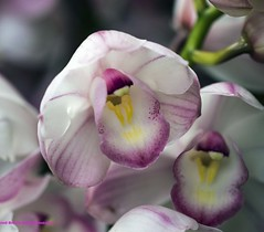 Orchid Pink (rumerbob) Tags: orchidpink orchid flower floral flowergarden fauna botany botanicalgardens botanical nature naturewatcher naturephotography macro macroflower macrophotography longwoodgardens canon7dmarkii canon100mmmacrolens