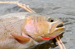 Cutthroat trout Seedskadee National Wildlife Refuge (USFWS Mountain Prairie) Tags: trout cutthroattrout fishing flyfishing wyoming wyomingwildlife seedskadeenwr