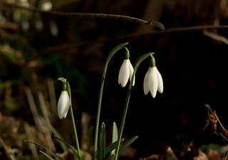 garden snowdrops