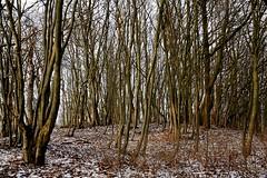 NB -  Buchenwald IMG_2322 (nb-hjwmpa) Tags: neubrandenburg buchenwald lindenberg