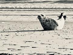 Beach boy....... (rienschrier) Tags: natuur nature beach seal strand zeehond