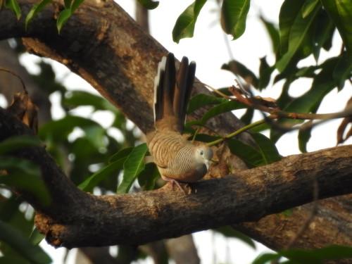 Peaceful Dove At Sunrise Outside Hua Hin - Thailand